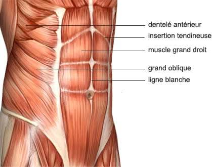 Anatomie de la sangle abdominale